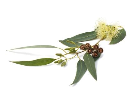 Eukalyptus Blätter und Frucht