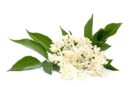 Holunderast mit Blüten