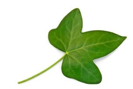 Efeupflanze als Heilkraut