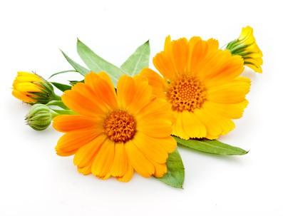 Blüten der Ringelblume