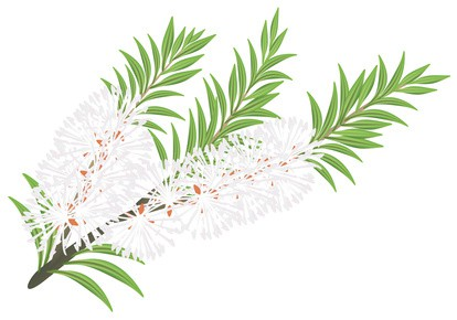 Teebaumöl der Melaleuca alternifolia