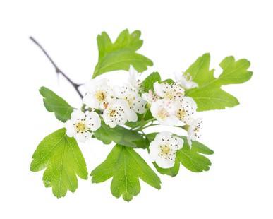 Weißdorn Heilpflanze Blüten und Früchte