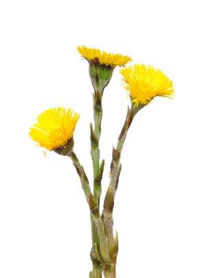 Huflattich Heilpflanze anwenden