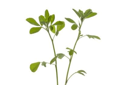 Die Heilpflanze Bockshornklee und ihre Wirkung