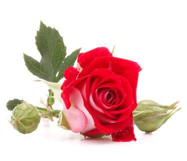 Die Heilkraft der Rose und ihre Wirkung