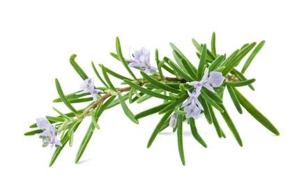 Rosmarin Heilkraut Pflanze