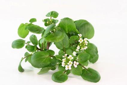 Brunnenkresse als Heilpflanze