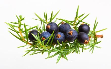 wacholder juniperus communis wirkung anwendung. Black Bedroom Furniture Sets. Home Design Ideas