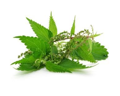 Brennesseln als Heilpflanze und ihre Wirkung