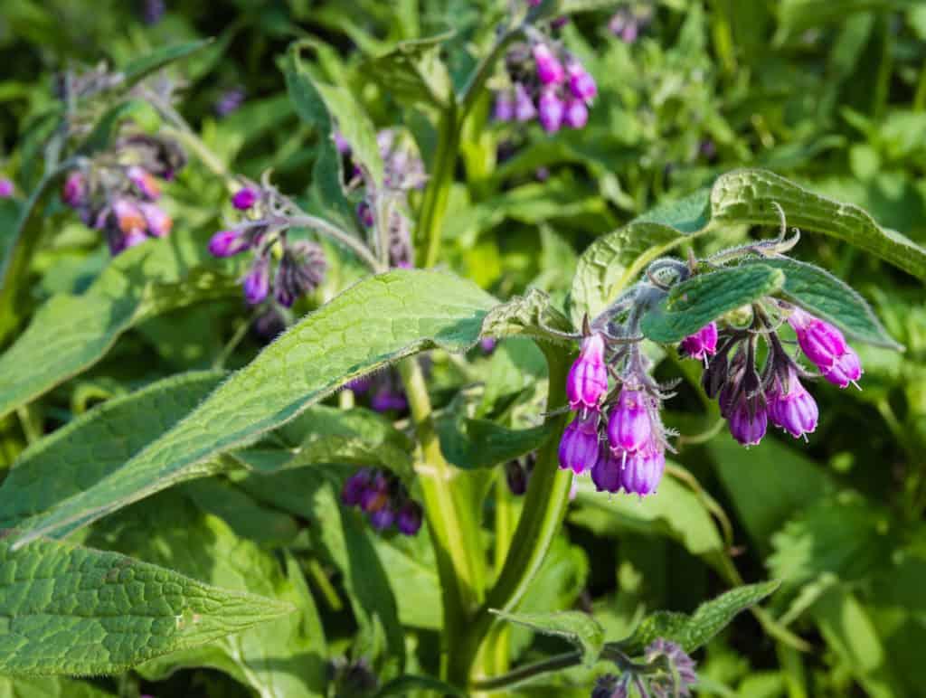 Violette und lila Beinwell Blüten